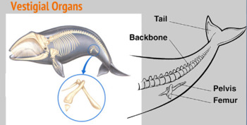 Evidence of Evolution -- PowerPoint, Notes + Worksheets