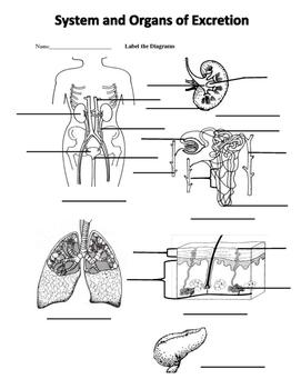 EXCRETORY SYSTEM VOCABULARY