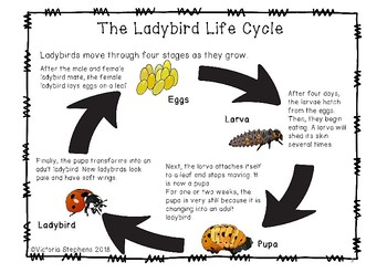 Explanation for Early Readers: Ladybird Life Cycle