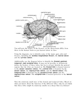 External sheep brain dissection guide by Keith Metzger TpT