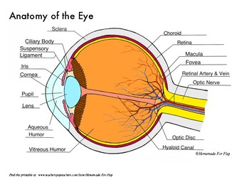 Anatomy of the Eye Diagrams for Coloring/Labeling, with Reference and  SummaryTeachers Pay Teachers
