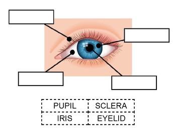 Eye diagram cut paste worksheet by nikki squillante tpt eye diagram cut paste worksheet ccuart Choice Image