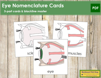 Eye Nomenclature (Simple) Cards