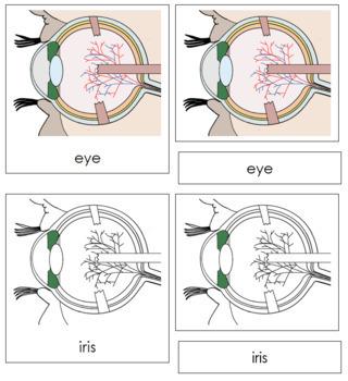 Eye Nomenclature Cards