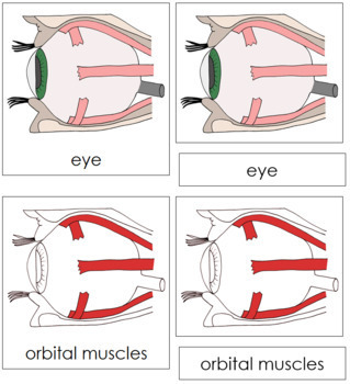 Eye Nomenclature Cards (Red)
