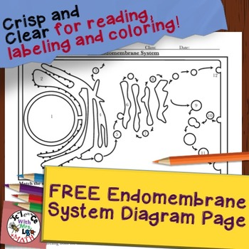 Free Endomembrane System Diagram And Questions From Cell Organelle