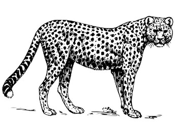 34 Coloring Pages Of Cheetahs - Zsksydny Coloring Pages