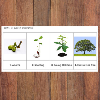Free Oak Tree Life Cycle Sequencing Cards By Karen Cox Tpt