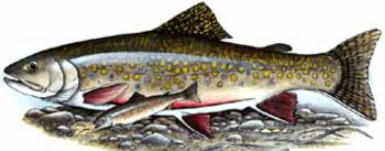 FREE POSTER: Trout and char of Canada and the USA