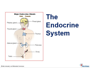 FREE Preview of Endocrine System Powerpoint Slides