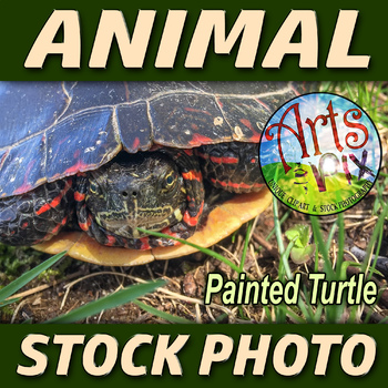 "Stock Photo - ""Painted TURTLE"" - Reptile - Photograph - Arts & Pix"