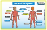 FREE: The Muscular System Poster - The PE Project