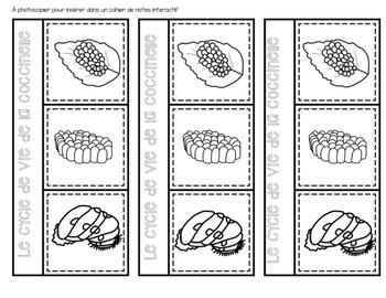 FRENCH {LadyBug life cycle}/ Le cycle de vie de la coccinelle