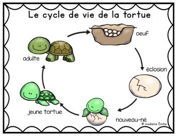 FRENCH {Turtle life cycle}/ Le cycle de vie de la tortue