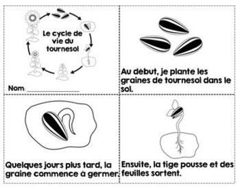 FRENCH {Sunflower life cycle}/ Le cycle de vie du tournesol