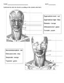 Facial Muscles w/key