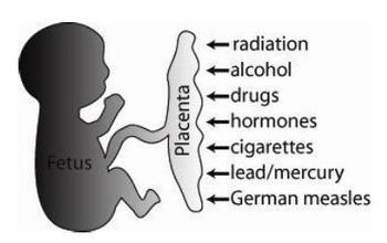 Factors Influencing Fetal Development Activity
