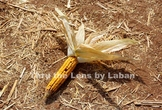 Fall Harvest Corn Stock Photo #218