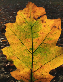 ! FREE Stock Photo - Fall Oak Leaf - FREEBIE