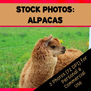 Farm Alpacas Stock Photos