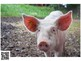 Farm Animal Pictures and Sounds with QR Codes, Active Listening, Music Activity