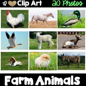 Farm Animals Photos
