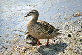 Female Mallard Guarding Duckling