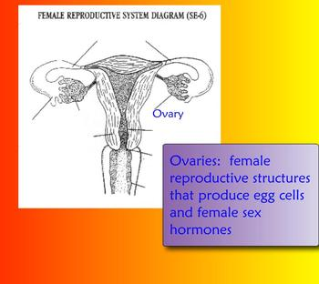 Female Reproductive SMART Board