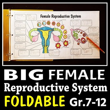 Female Reproductive System - Big Foldable for Interactive