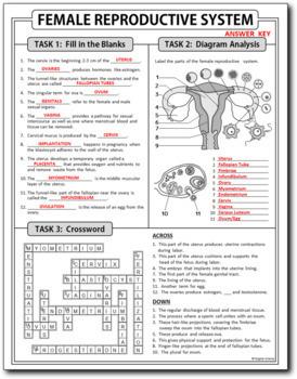 Female Reproductive System Homework Review Worksheet / Test Prep {Editable}