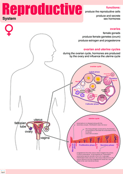 Female Reproductive System Poster