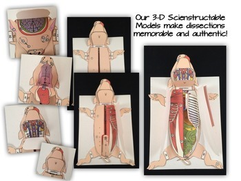 Fetal Pig Dissection 3 D Paper Model By Getting Nerdy