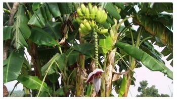 "Figurative Language in ""The Banana Tree"""