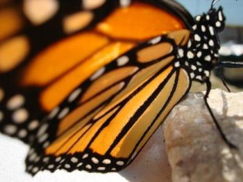 Find the Monarch Life Cycle
