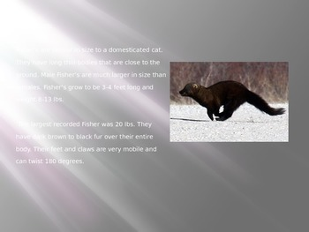 Fisher Cat - Power Point - History Facts Pictures - 8 Slides