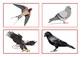 Flashcards birds