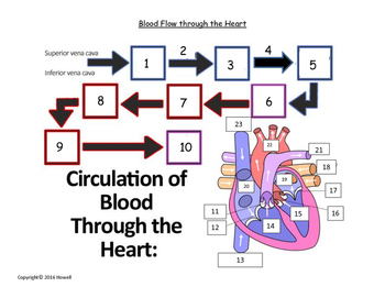 flow of blood through the heart quiz or worksheet tpt. Black Bedroom Furniture Sets. Home Design Ideas