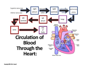 Flow of Blood through the Heart Quiz or Worksheet
