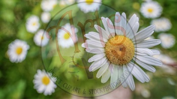 Flower - Daisies - Stock Photo - Summer Daisy