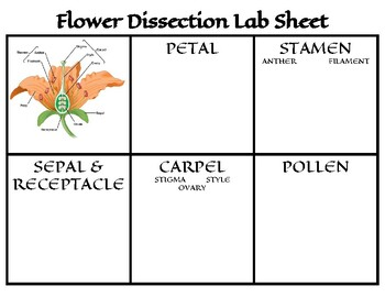 Flower Dissection Lab Sheet by Jenny Trump | Teachers Pay ...
