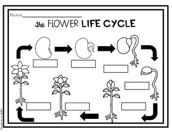 Flower Life Cycle