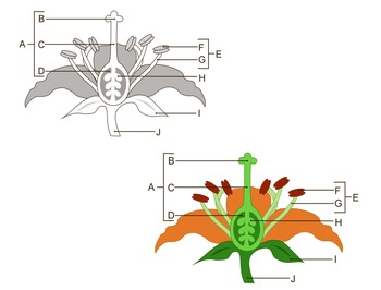 Flower parts clipart science diagram labeled and unlabeled by ttscience flower parts clipart science diagram labeled and unlabeled ccuart Gallery