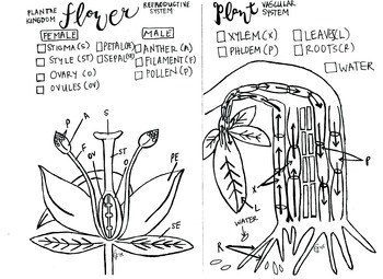 Flower Reproduction coloring sheet and Xylem and Phloem