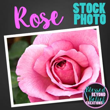 Flower Stock Photo ◆ Pink Rose Stock Image ◆ Rose Photograph