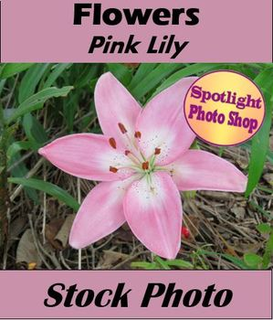 Flowers - Pink Lily: 1 Image for Personal & Commercial Use