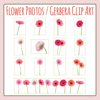 Flowers with Stem / Gerbera Daisy Flowers Photo Clip Art for Commercial Use