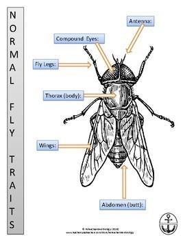Fly Mutation Drawing Lab