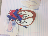 Foldable, Interactive notebook heart dissection and structure of the heart