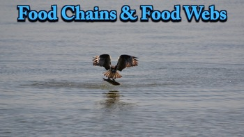 Food Chains - PowerPoint
