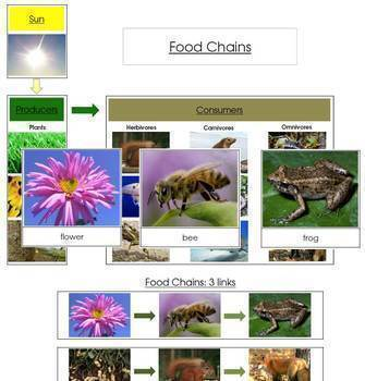 Food Chains: Cards and Charts